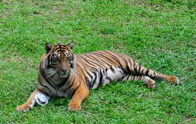 Bukittinggi Tiger