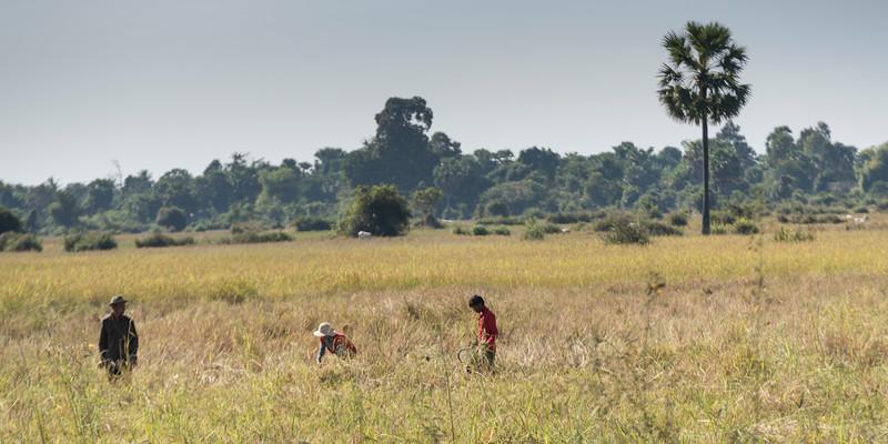 Farmers harvesting rice paddy, Preah Dak, Siem Reap, Cambodia