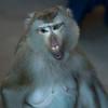 Close-up of monkey, Krong Siem Reap, Siem Reap, Cambodia