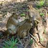 Monkeys sitting on stone wall, Krong Siem Reap, Siem Reap, Cambodia
