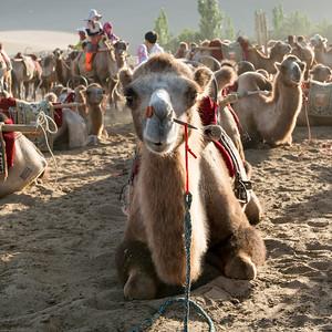 Camels at Mingsha Shan, Dunhuang, Jiuquan, Gansu Province, China