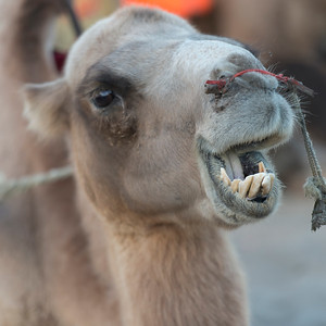 Close-up of a camel at Mingsha Shan, Dunhuang, Jiuquan, Gansu Province, China