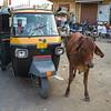 Cow standing near an auto rickshaw, Jaisalmer Fort, Jaisalmer, Rajasthan, India