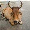 Cow sitting on street, Jaisalmer, Rajasthan, India