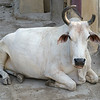 Cow laying in the street, Jaipur, Rajasthan, India