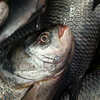 Close-up of fish at Naskar Fish Stall, Maniktala, Kolkata, West Bengal, India