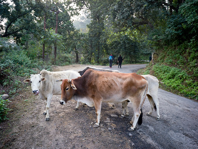 Cows at roadside on the way to Kunjapuri Devi Temple, Adali, Narendranagar, Tehri Garhwal, Uttarakhand, India