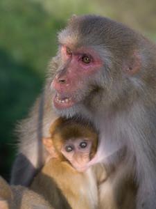 Female monkey with its young one, Kunjapuri Devi Temple, Adali, Narendranagar, Tehri Garhwal, Uttarakhand, India
