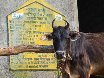 Cow at Gaushala (Shelter for Cows) on the way to Kunjapuri Devi Temple, Adali, Narendranagar, Tehri Garhwal, Uttarakhand, India