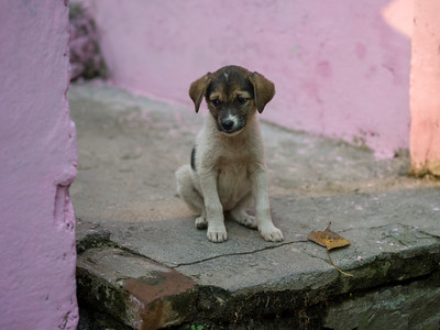 Puppy sitting on steps, Narendranagar, Tehri Garhwal, Uttarakhand, India