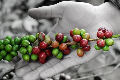 Da Lat City, Vietnam, coffee beans