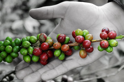 Da Lat City, Vietnam, coffee beans