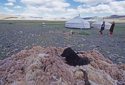 dog lying on pile of wool. Gers western mongolia