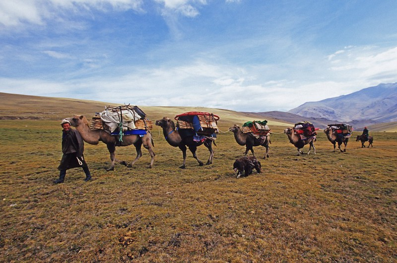 Nomads moving location with camel caravan. western mongolia