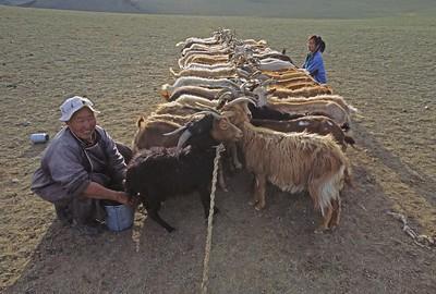 Women milking goats. western mongolia