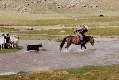 Dragging sheep across river. western mongolia