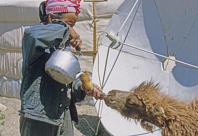 Feeding baby camel. Gobi desert. Mongolia