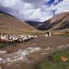 Dragging sheep across river. western mongolia
