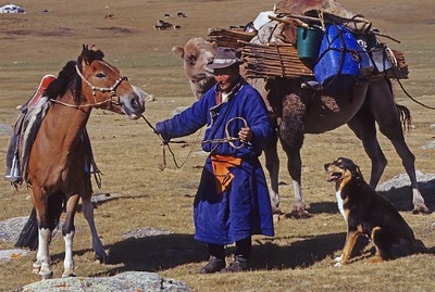Horseman and camel caravan carrying ger. mongolia