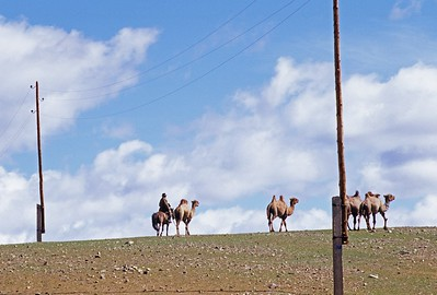 Camels and horseman against skyline. western mongolia