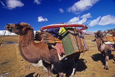 Camel caravan. western mongolia. Carrying parts of ger