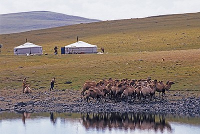 Camels by lake. western mongolia