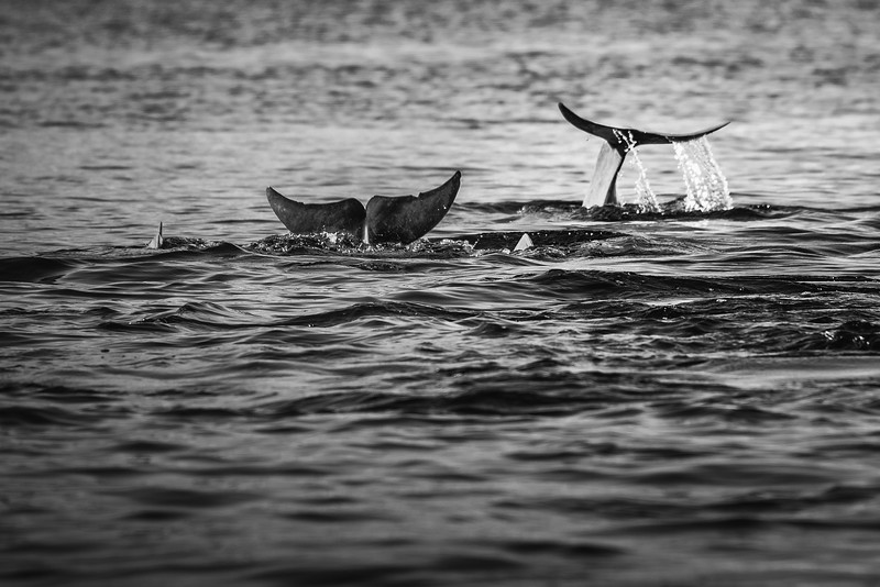 Humpback Dolpins