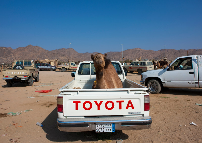 Saudi Arabia, Asir, Najran, Camel In The Back Of A Toyata Car