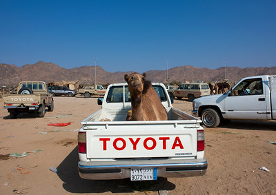 Saudi Arabia, Asir, Najran, Camel In The Back Of A Toyata Car