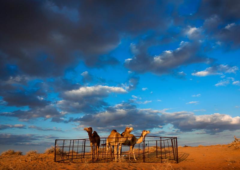 Saudi Arabia, Arabian Desert, Nafoud, Camels In A Farm In The Desert