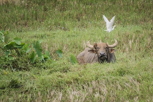 Domestic Asian Water Buffalo