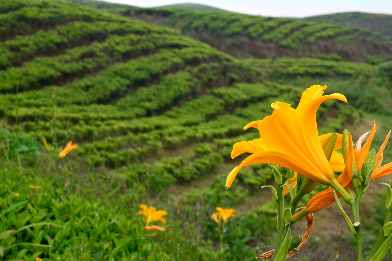 Tea plantations