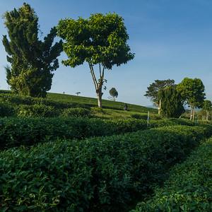 Scenic view of tea plantation, Chiang Rai, Thailand