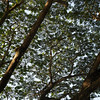 Low angle view of tree canopy, Chiang Rai, Thailand