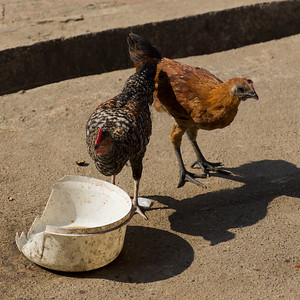 Two hens on street, Chiang Rai, Thailand