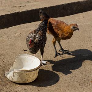 Two hens on street, Chiang Rai, Thailand