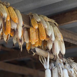 Low angle view of corn cobs hanging from roof beam, Chiang Rai, Thailand
