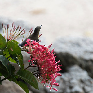 Bird perching on flowering plant, Koh Samui, Surat Thani Province, Thailand
