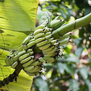 Bunch of bananas growing on tree, Koh Samui, Surat Thani Province, Thailand