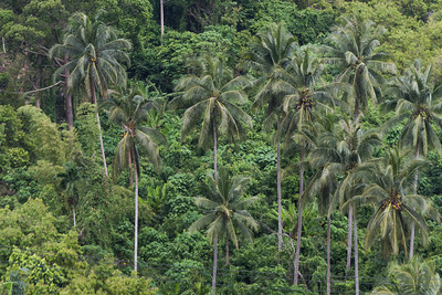 Palm trees in forest, Koh Samui, Surat Thani Province, Thailand