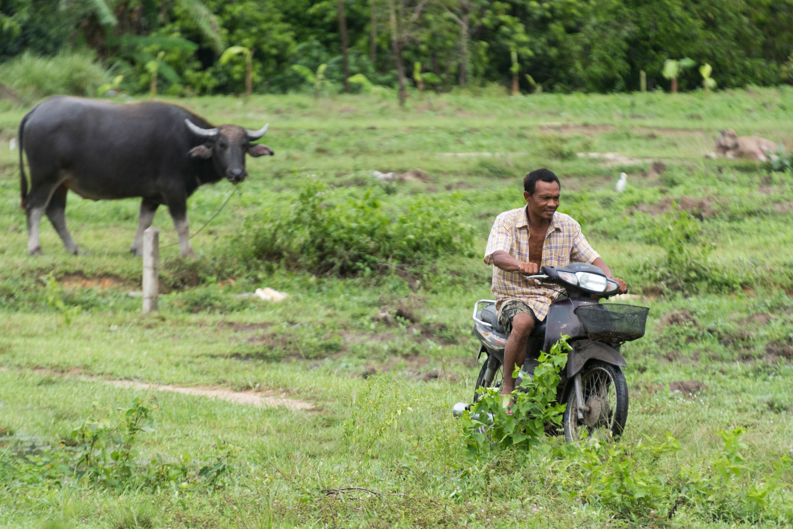 Man riding motorcycle in field, Koh Samui, Surat Thani Province, Thailand