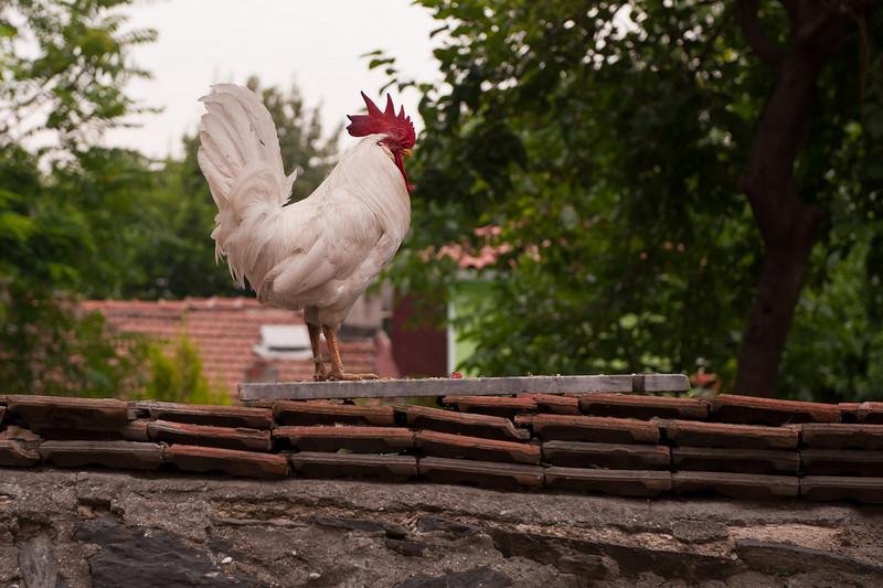 Rooster near Chora Church