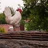 Rooster near Chora Church