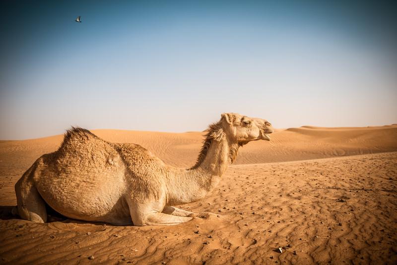 Crumpy Camel