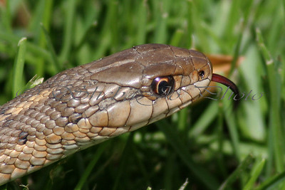 Garter snake in the grass.