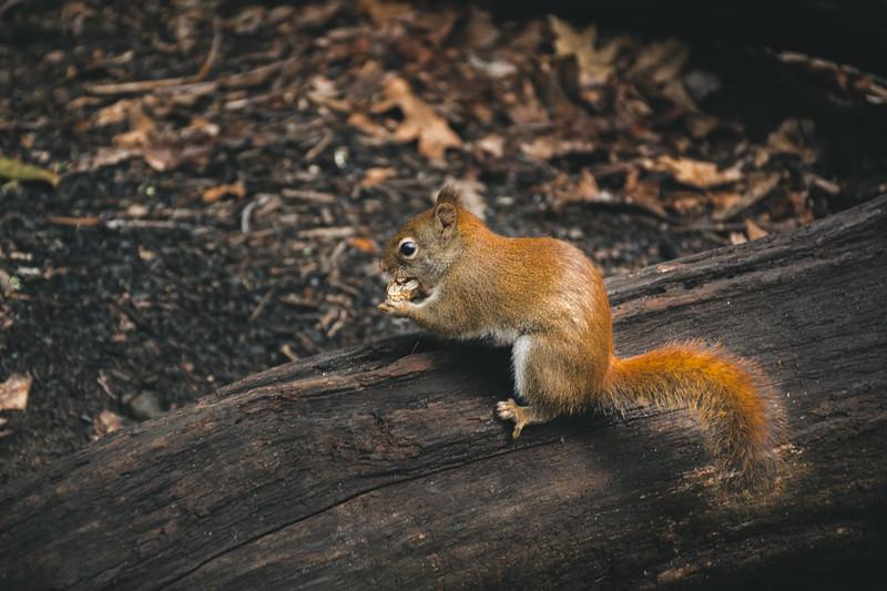 Squirrel of Appalachia