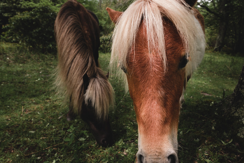Ponies of the Grayson Highlands