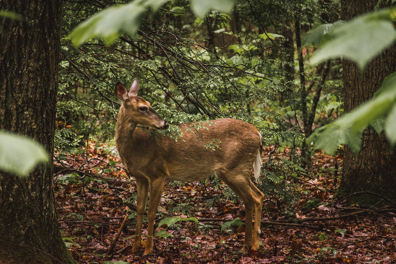Appalachian Deer