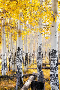 Fall Aspens in Flagstaff, AZ