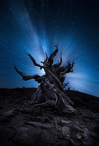 Zoom effect on Milky Way behind an ancient twisted bristlecone pine tree
